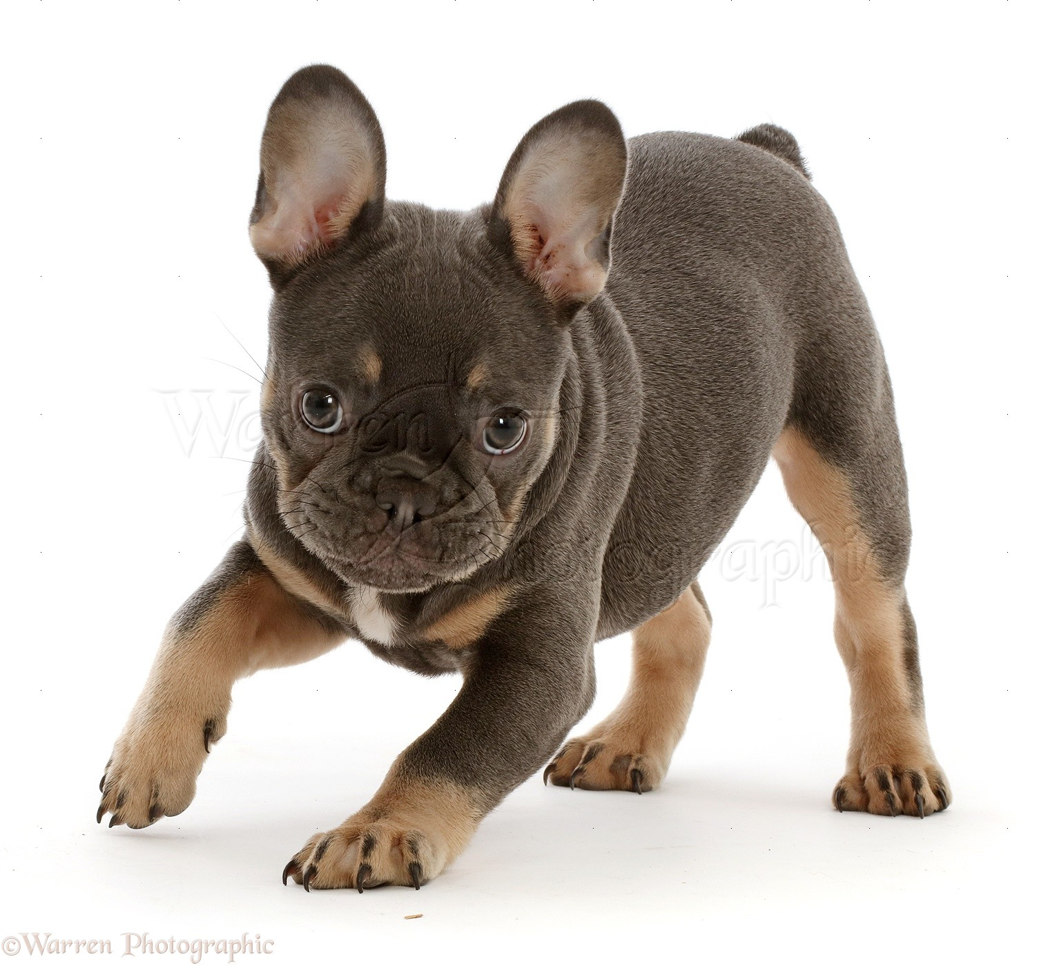 Blue And Tan French Bulldog Puppy Photo Wp46816
