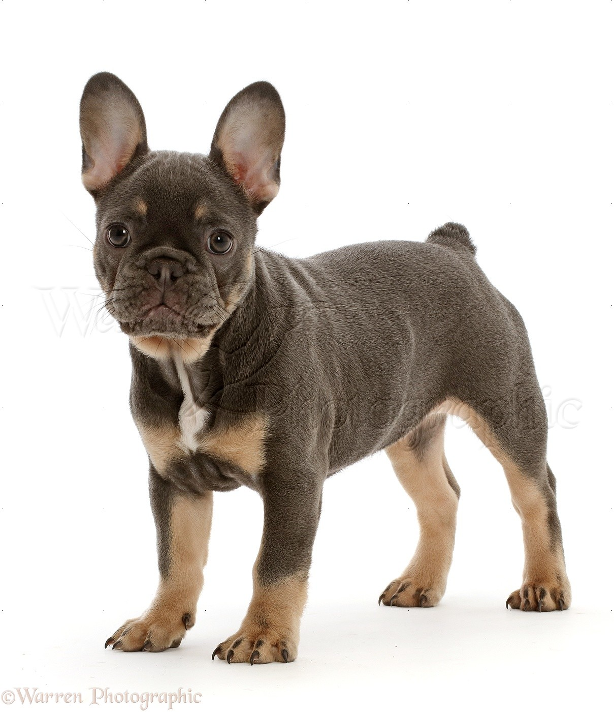 Blue And Tan French Bulldog Puppy Standing Photo Wp46829