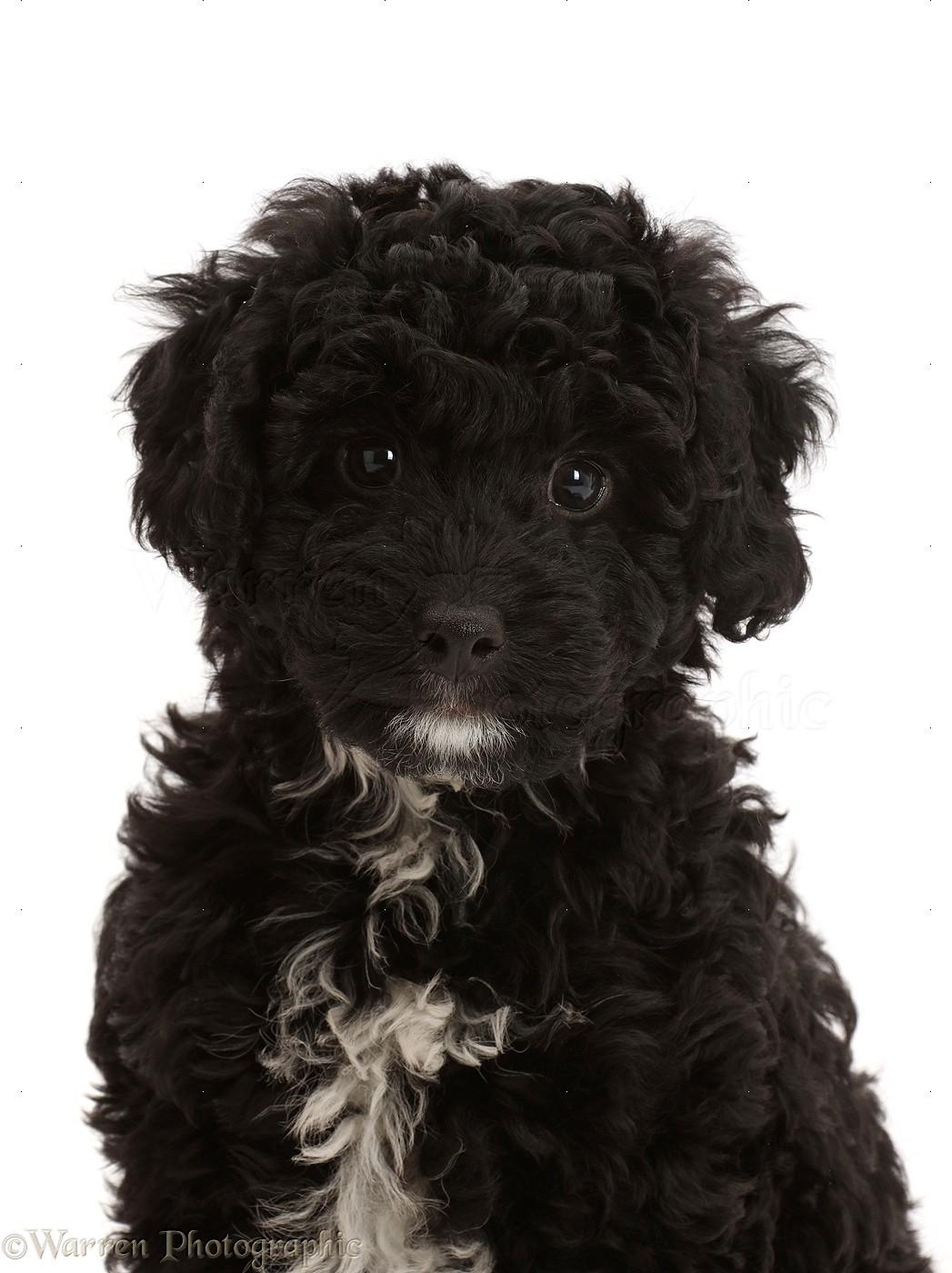 Dog Black Poodle Cross Puppy Photo Wp46932