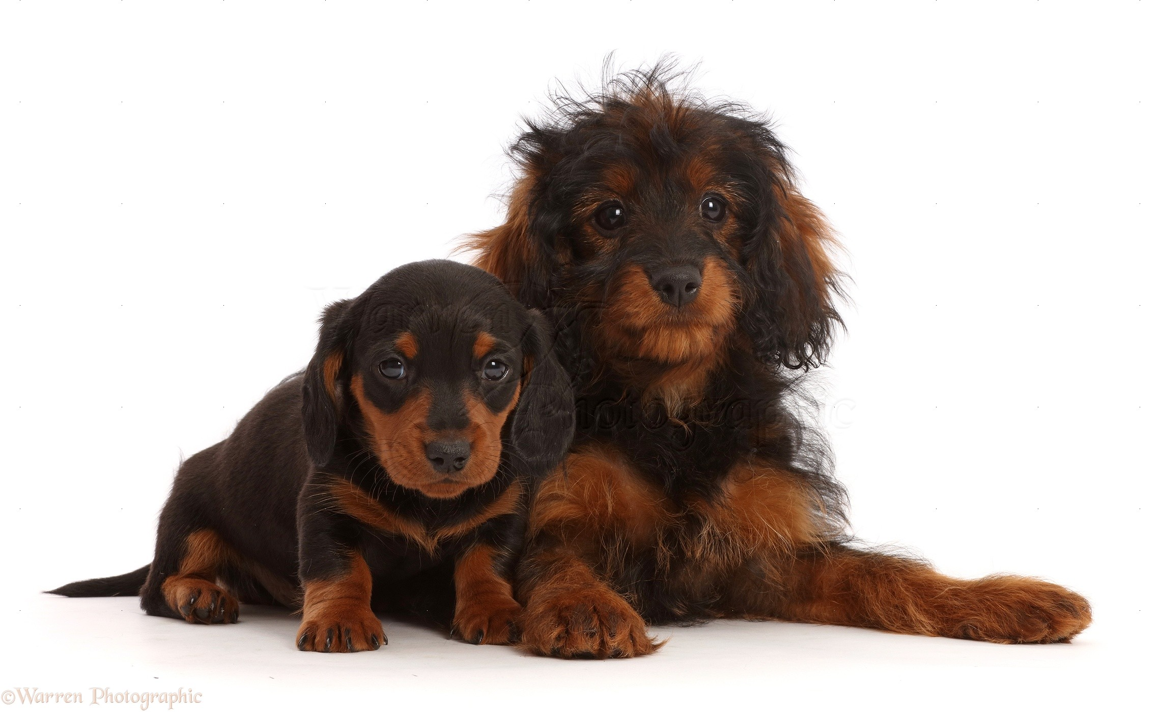 Dogs Black And Tan Dachshund Puppy And Cavapoo Puppy Photo Wp47118