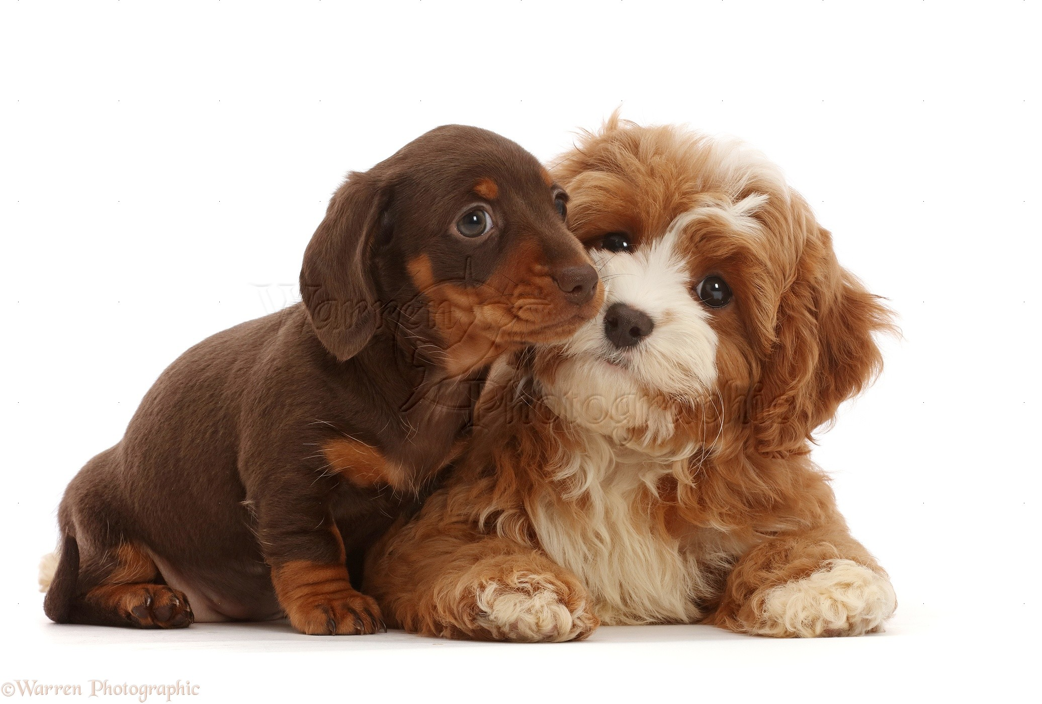 Dogs Chocolate Dachshund Puppy With Cavapoo Puppy Photo Wp47185