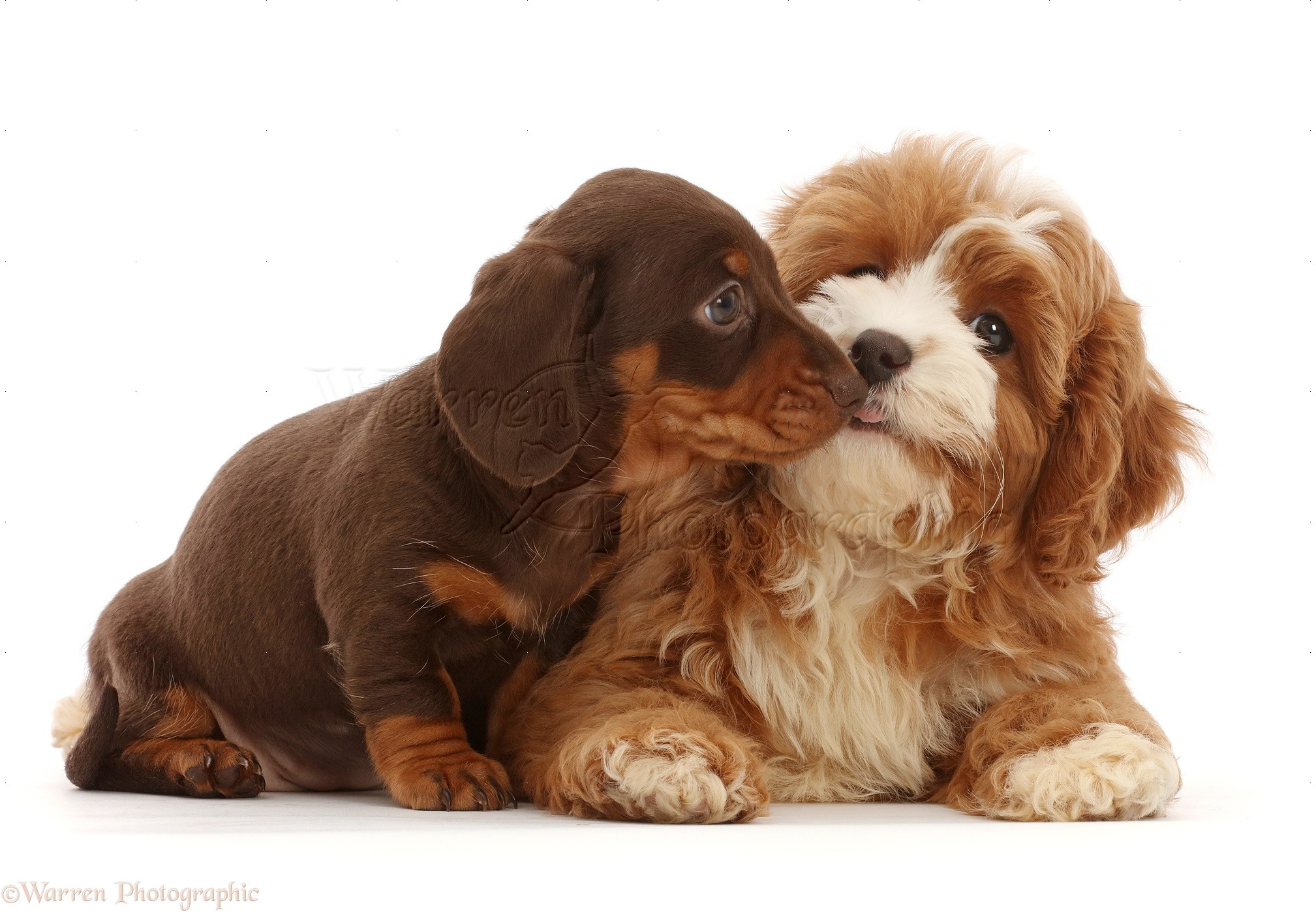 Dogs Chocolate Dachshund Puppy With Cavapoo Puppy Photo Wp47190
