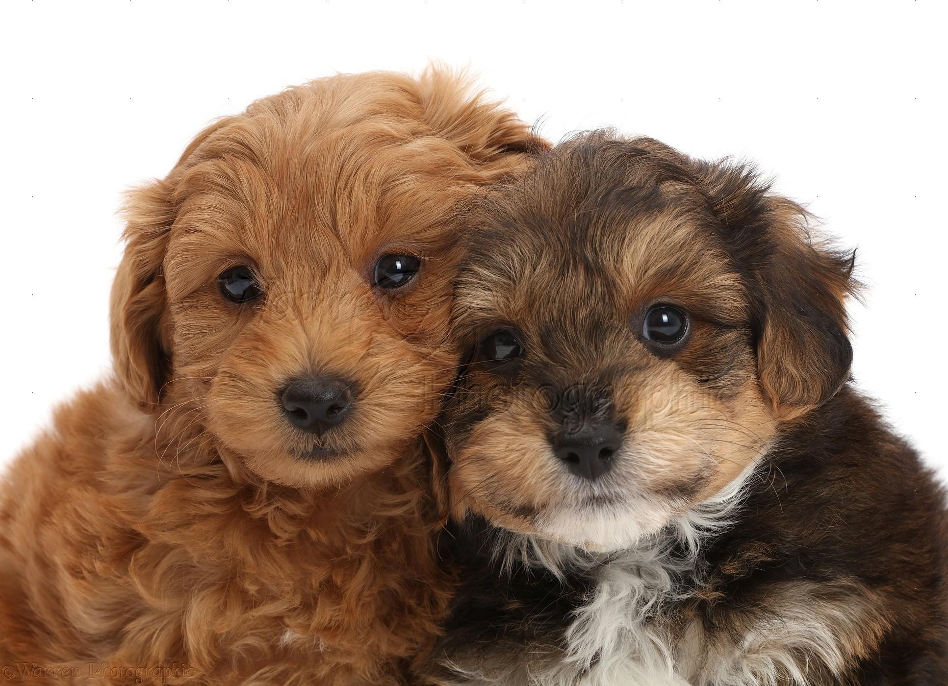 Dog Two Cavapoo Puppies Photo Wp47357