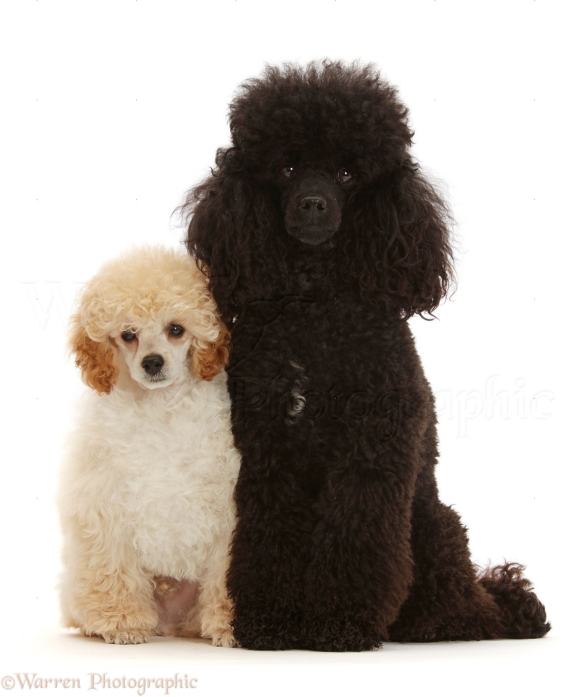 Dogs: Cream Toy Poodle puppy, and black adult photo WP47420