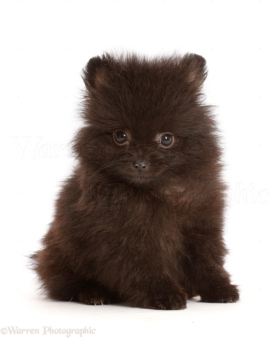 Dog Black Pomeranian Puppy Sitting Photo Wp47467