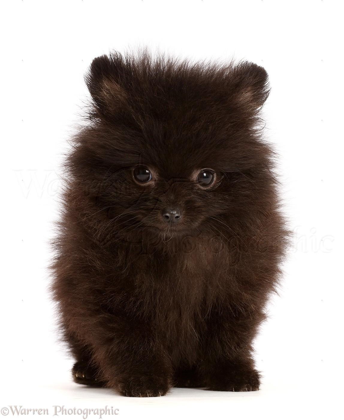Dog Black Pomeranian Puppy Sitting Photo Wp47468