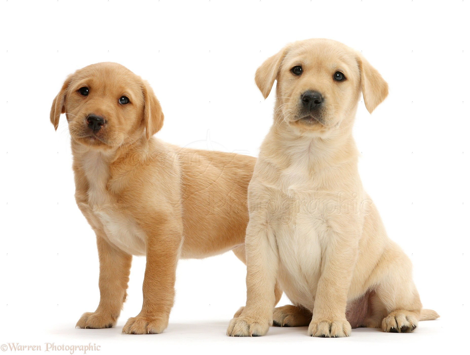 Dogs: Two cute Yellow Labrador puppies For Sale In Colorado USA