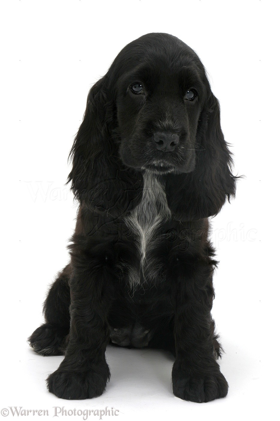 Dog Black Cocker Spaniel Pup Photo Wp47648