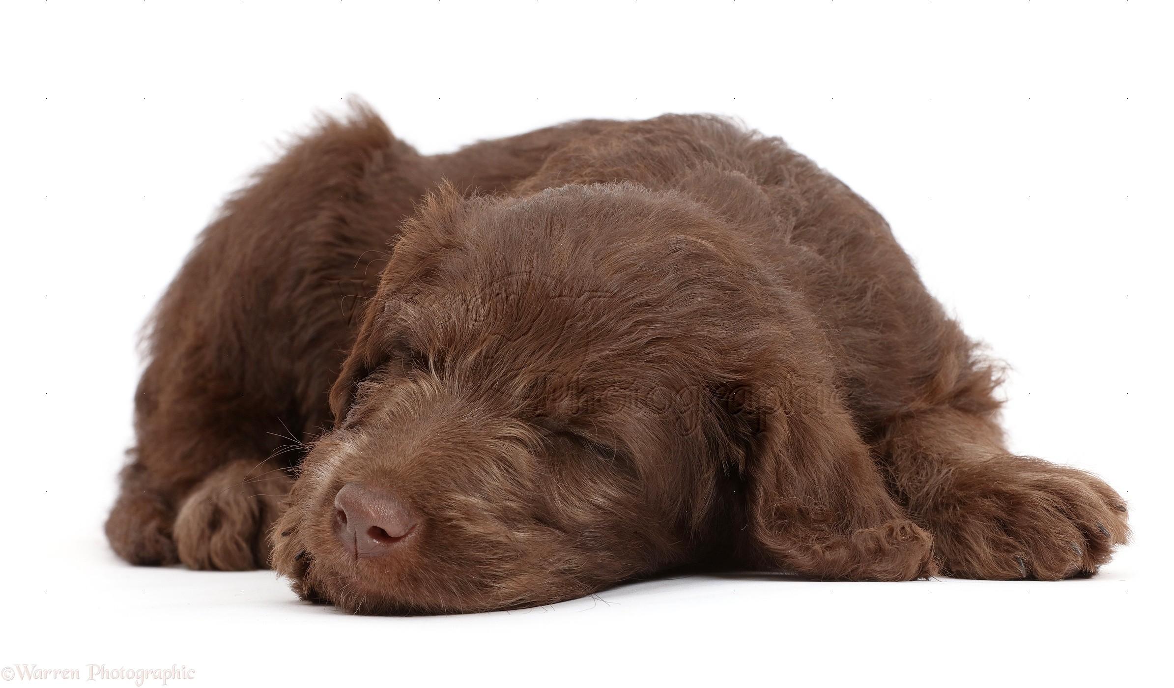 Dog Chocolate Labradoodle Puppy Sleeping Photo Wp47690