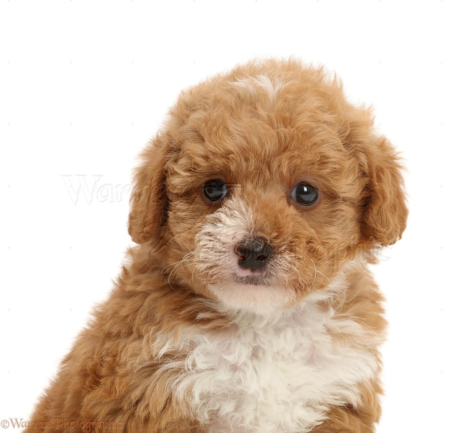 Dog F1b Toy Goldendoodle Puppy Photo Wp47731