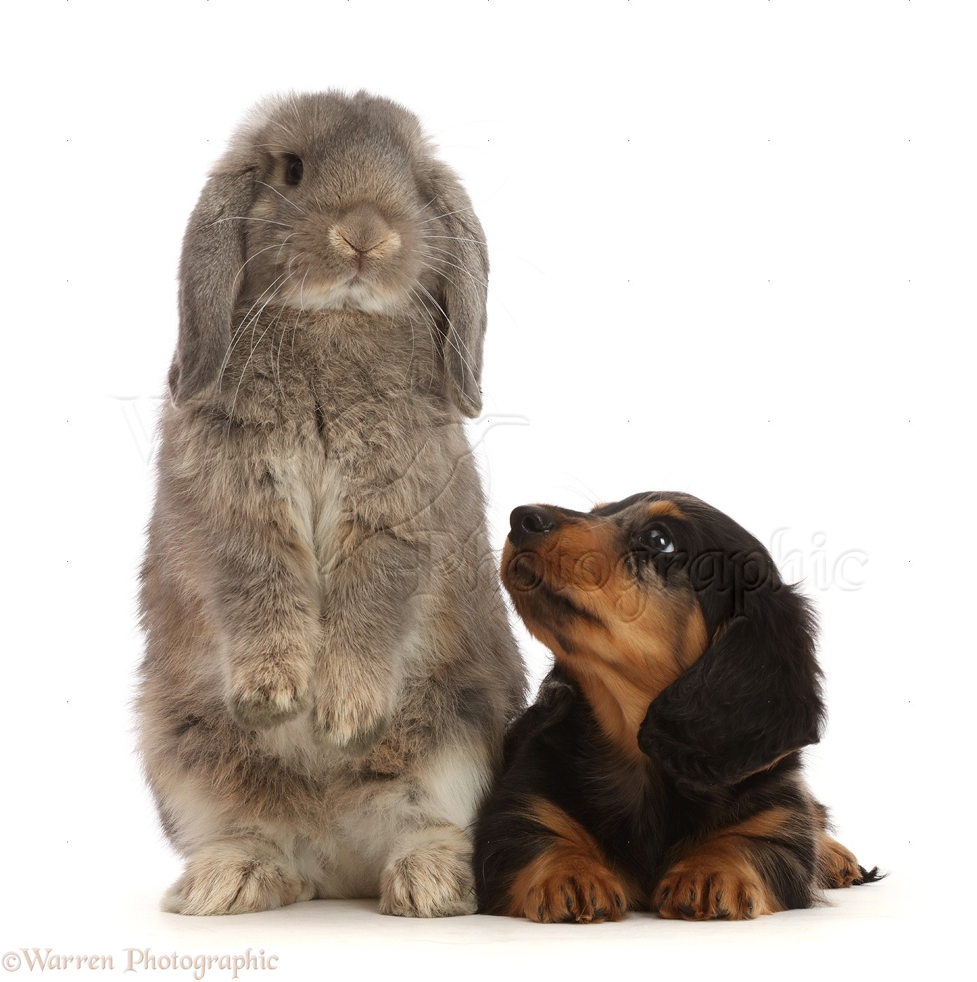 Pets Dachshund Puppy Looking Up At Grey Lop Bunny Photo Wp48001