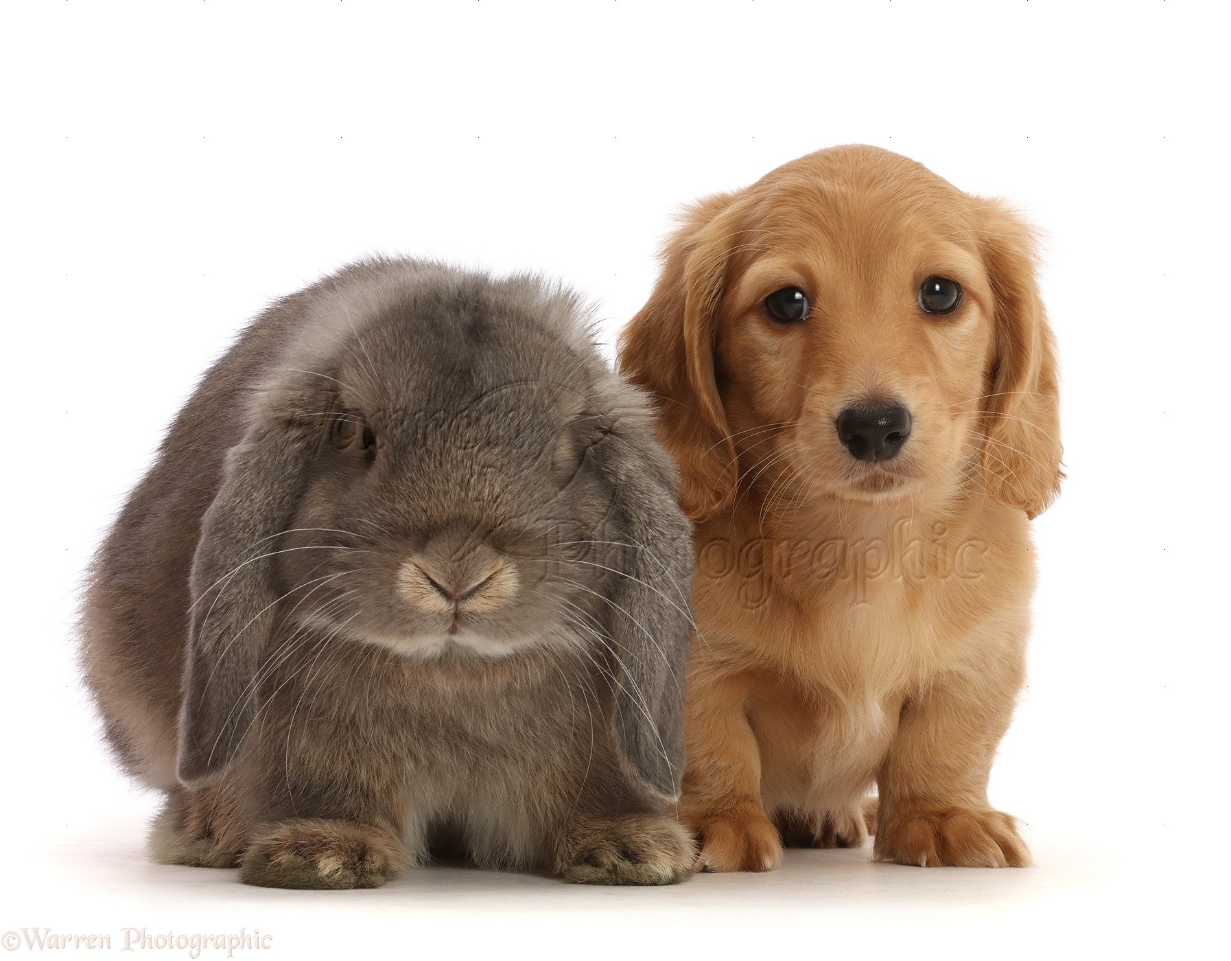 Pets Cream Dachshund Puppy 7 Weeks Old And Grey Lop Bunny Photo Wp48003