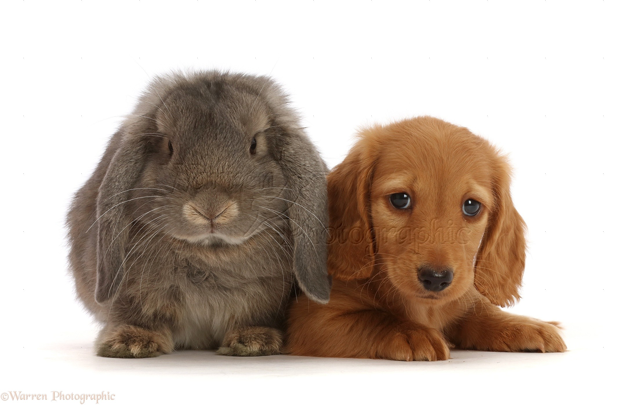 Pets Cream Dachshund Puppy 7 Weeks Old And Grey Lop Bunny Photo Wp48004
