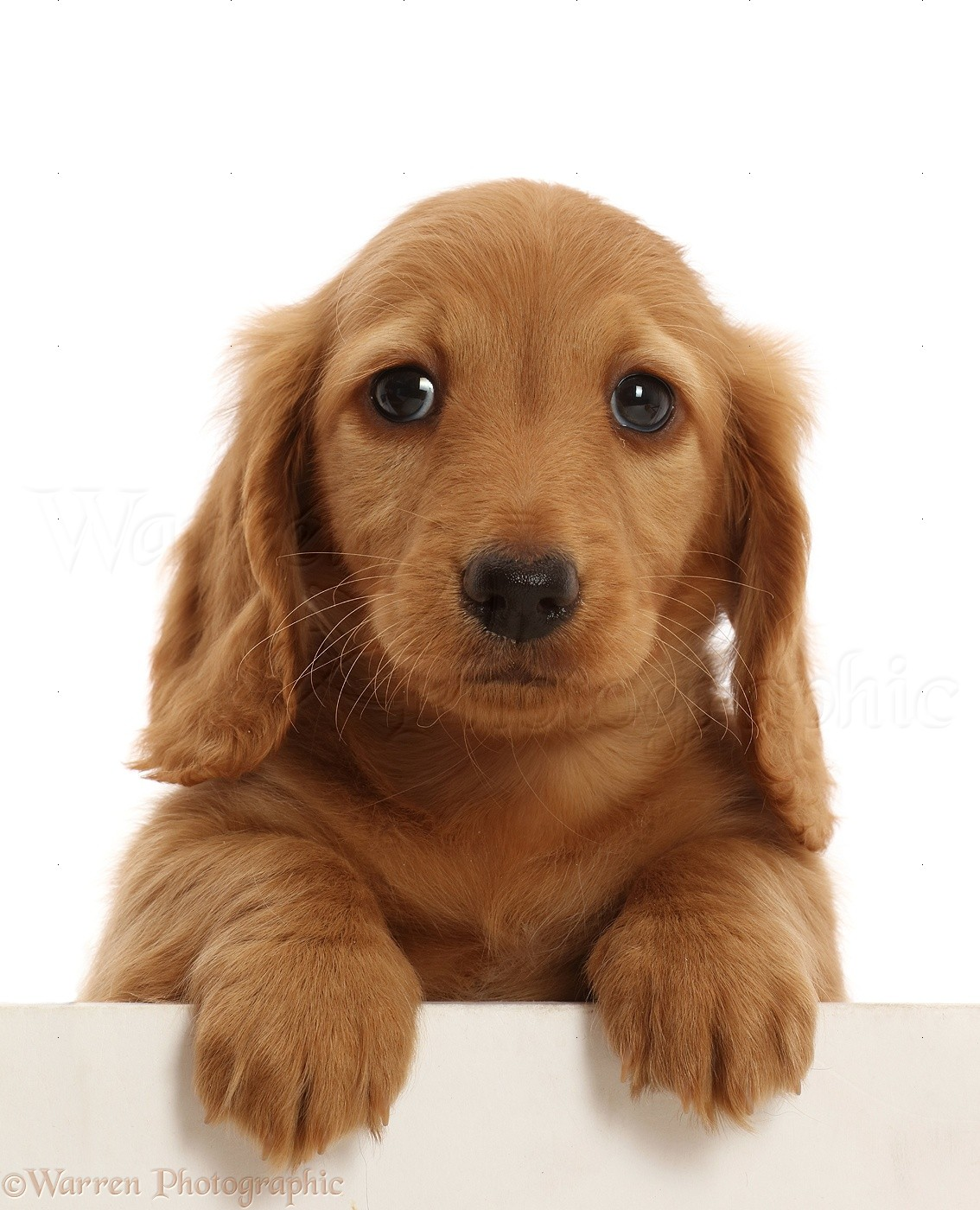 Dog Cream Dachshund Puppy 7 Weeks Old Paws Over Photo Wp48006