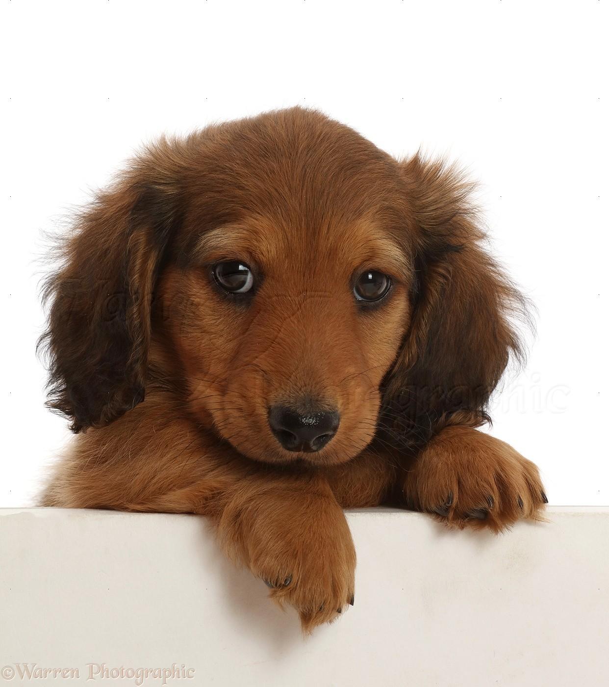 Dog Cream Shaded Dachshund Puppy 7 Weeks Old Paws Over Photo Wp48009