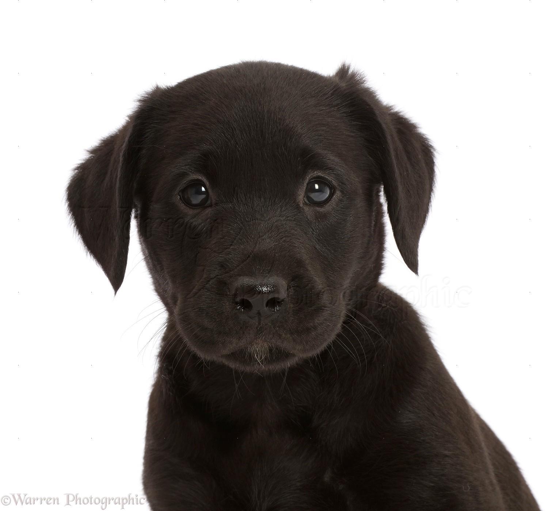 Dog Black Labrador Retriever Puppy 6 Weeks Old Photo Wp48111