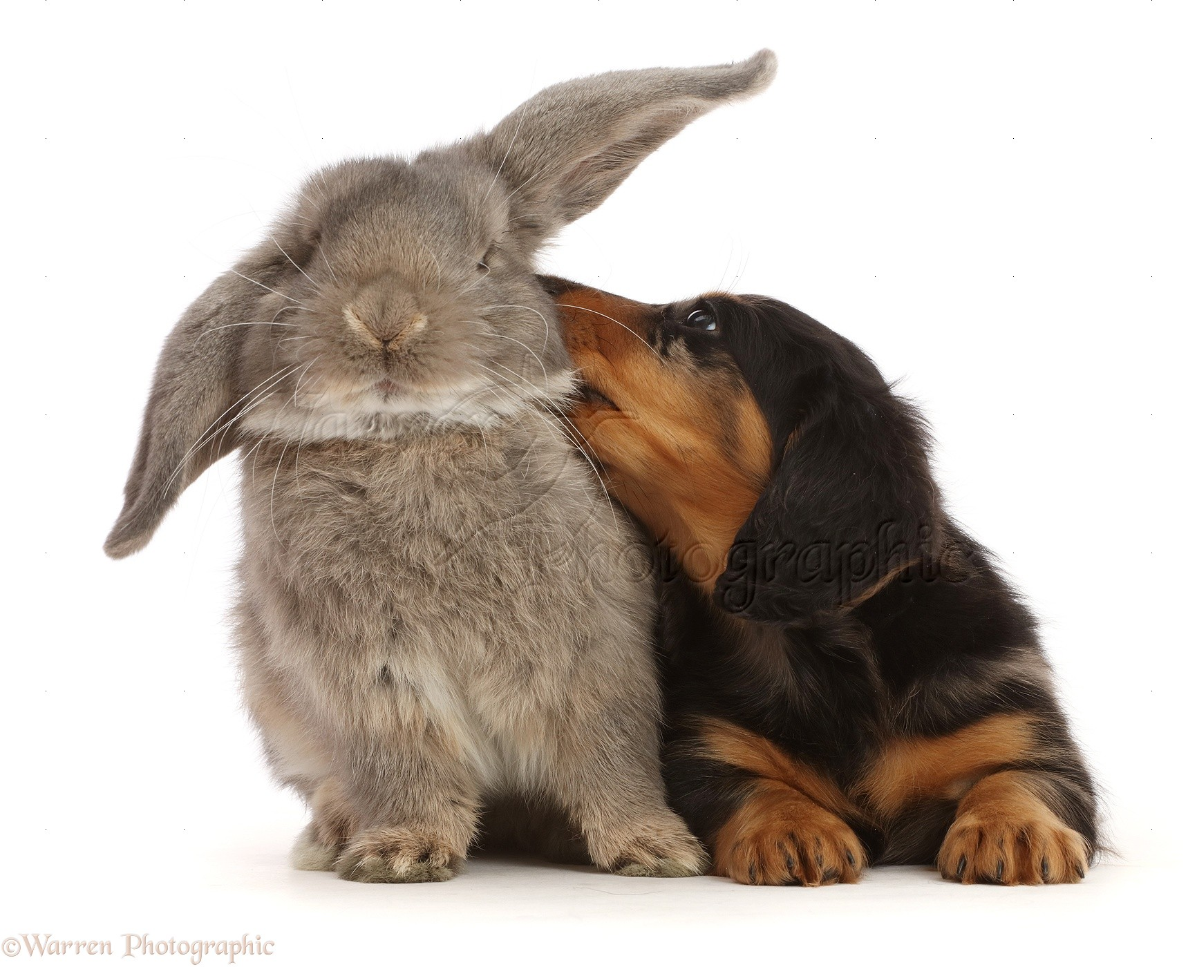 Pets Dachshund Puppy Looking Up At Grey Lop Bunny Photo Wp48134