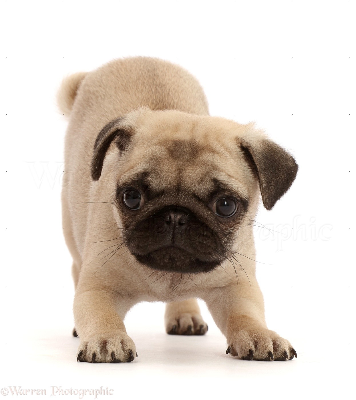 Dog Playful Fawn Pug Puppy 8 Weeks Old Photo Wp48345