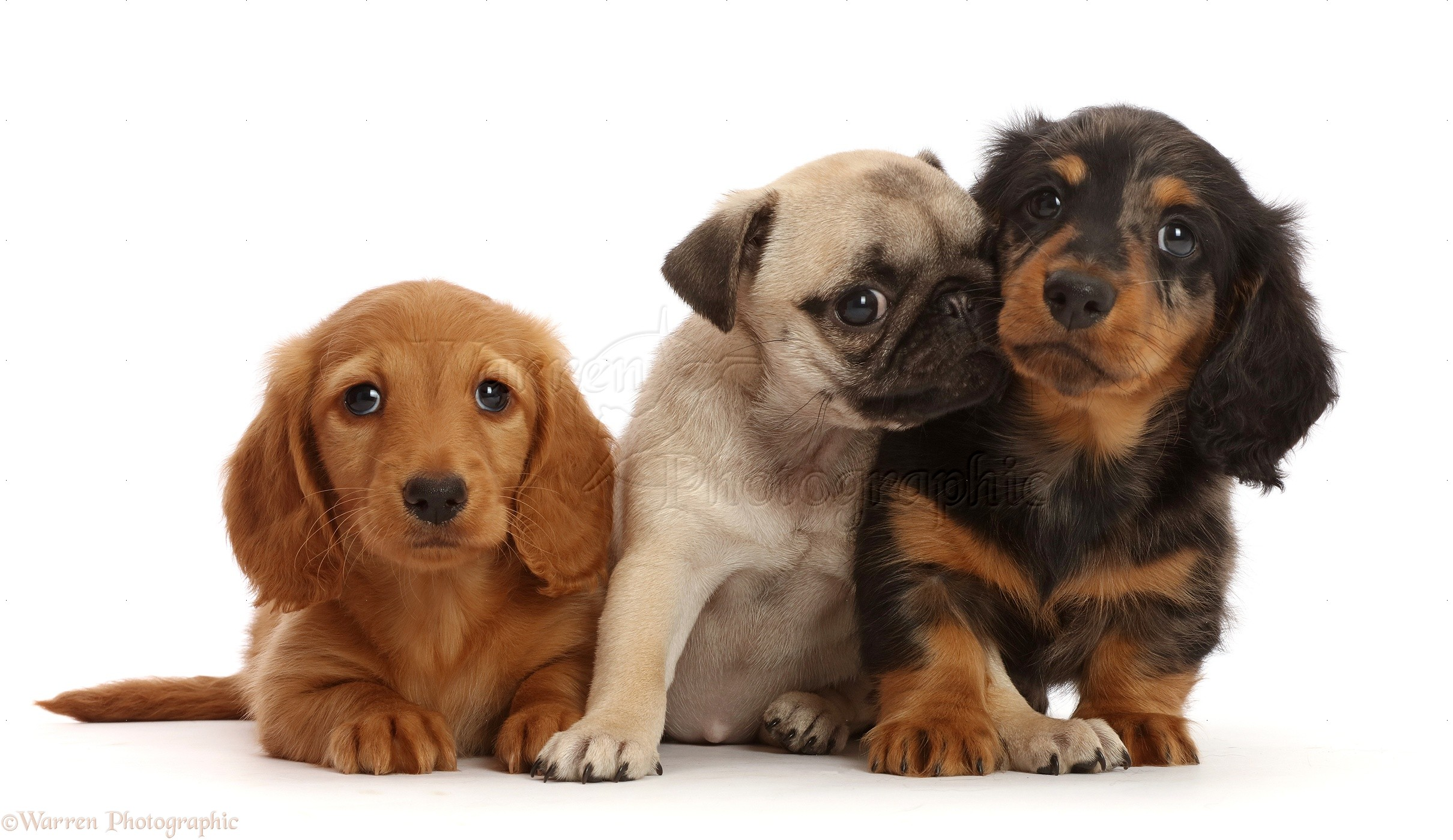 Dogs Dachshund Puppy And Pug Puppy Photo Wp48348