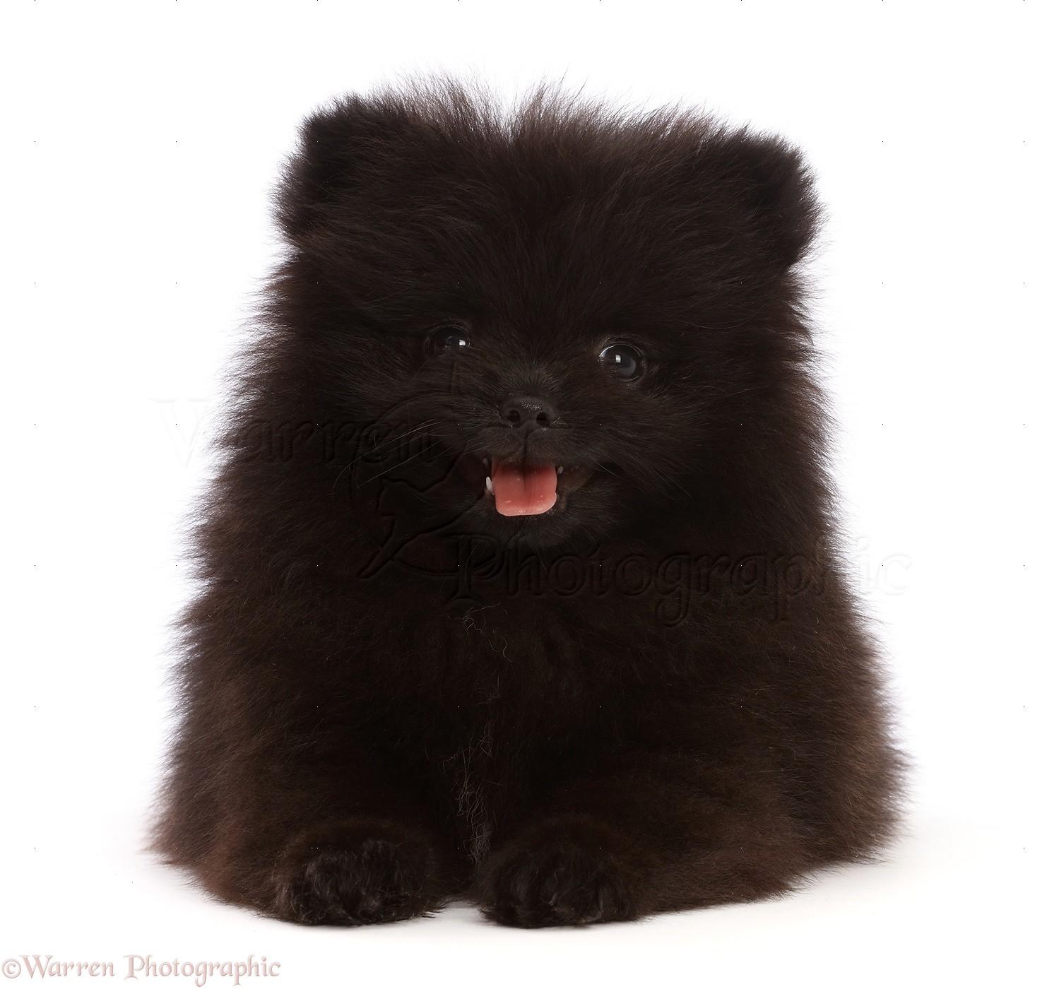 Dog Black Pomeranian Puppy 10 Weeks Old Photo Wp48475