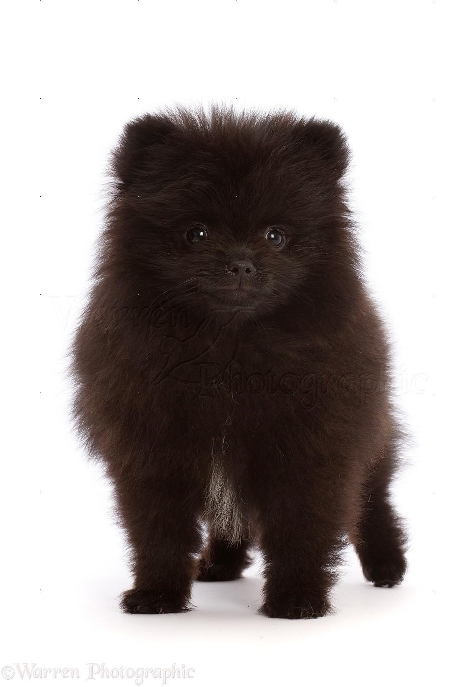Dog Black Pomeranian Puppy 10 Weeks Old Photo Wp48488