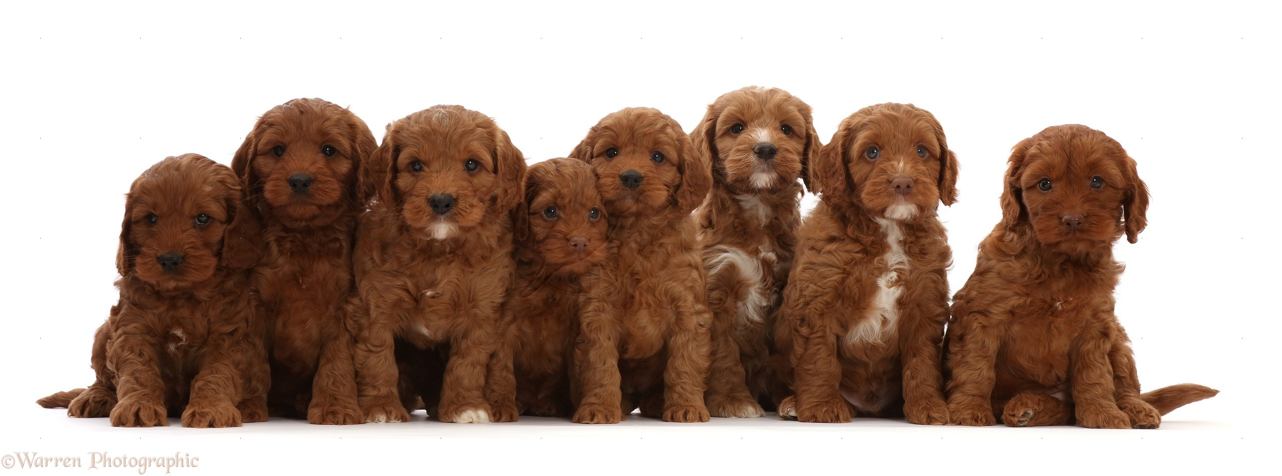 Dogs Seven Red Cockapoo Puppies 6 Weeks Old Sitting In A Row Photo Wp48763