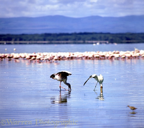 Yellow-billed Storks (Mycteria ibis) shading the water's surface while fishing.  East Africa