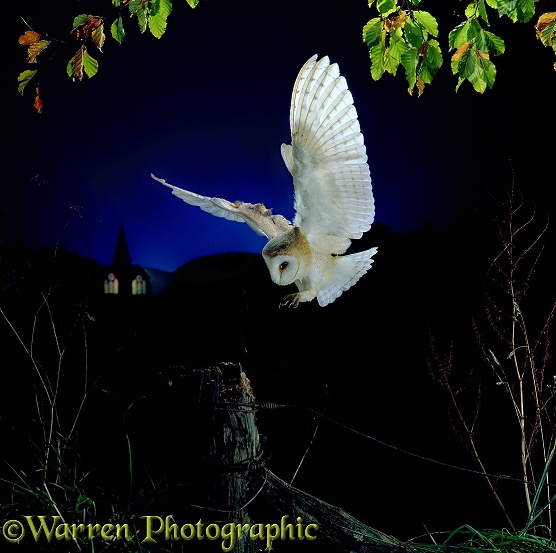 Barn Owl (Tyto alba) alighting on a fencepost.  Europe