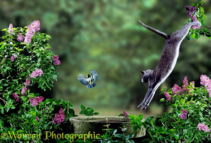 A leaping lilac Cat narrowly misses a Coal Tit (Parus ater)