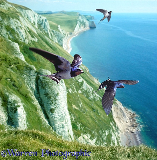 Swallow (Hirundo rustica) group over the cliffs of southern England