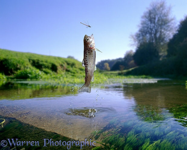 Brown Trout (Salmo trutta) fingerling, leaping at a damselfly.  Europe