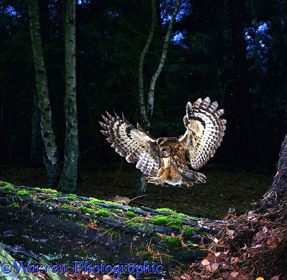 Tawny Owl (Strix aluco) pouncing a mouse on a fallen pine trunk
