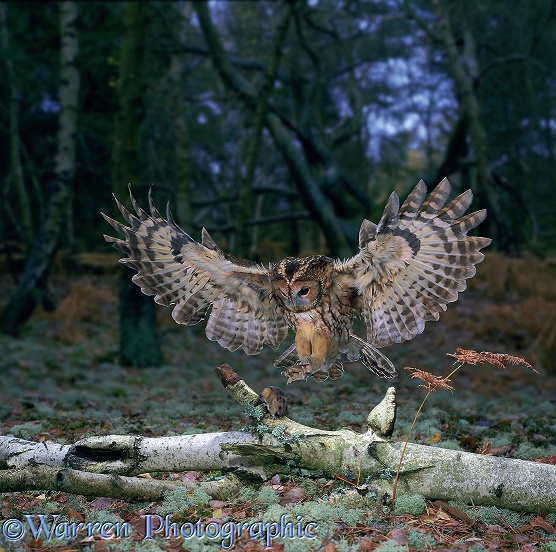 Tawny Owl (Strix aluco) pouncing a mouse on a fallen birch trunk