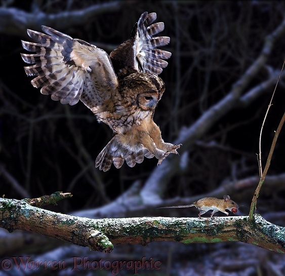 Tawny Owl (Strix aluco) pouncing a running mouse