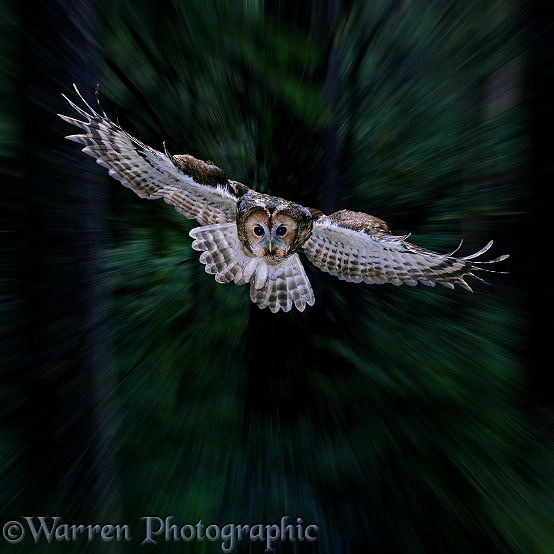 Tawny Owl (Strix aluco) flying through woodlands at dusk
