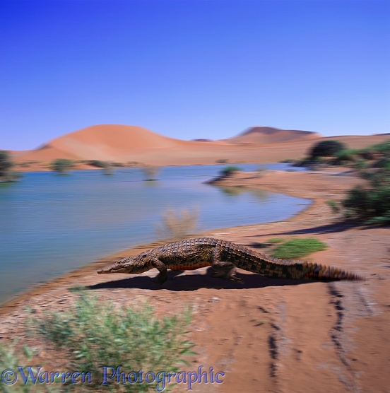 Nile Crocodile (Crocodylus niloticus) heading for water.  Africa