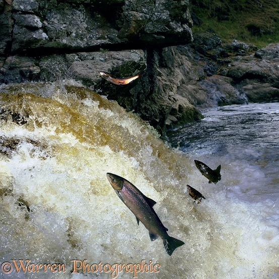 Atlantic Salmon (Salmo salar) in breeding colours leaping a waterfall