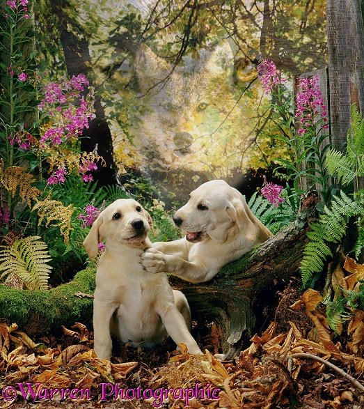 Spirit of the Dog - Labradors in a chestnut wood