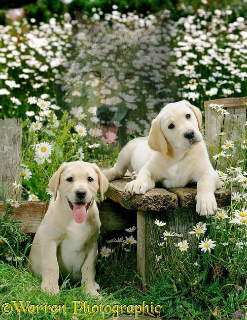 Spirit of the Dog - Labradors in a daisy field