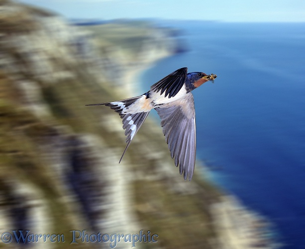 Swallow in flight over cliff
