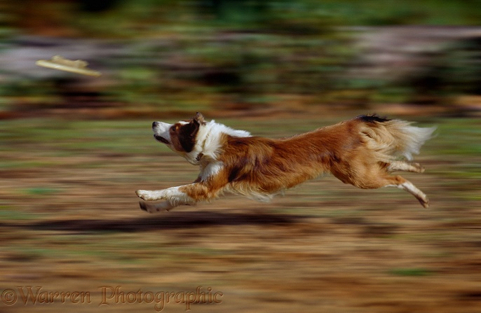 Sable-and-white Border Collie, Lark, chasing a Frisbee