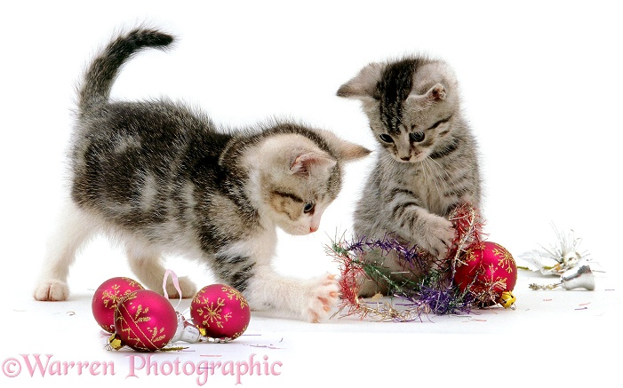 Kittens playing with Christmas baubles and tinsel, white background