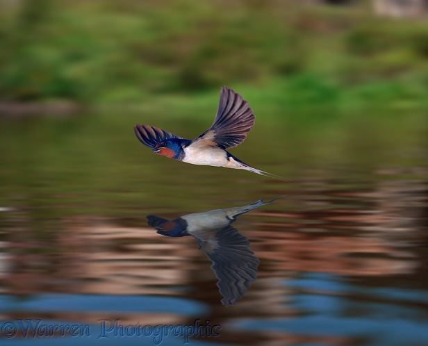 Swallow (Hirundo rustica) flying over a mill pond