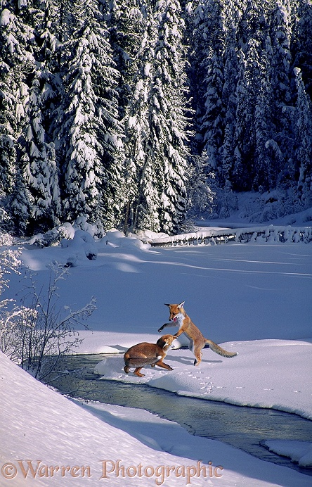 Red Foxes (Vulpes vulpes) at play in snow