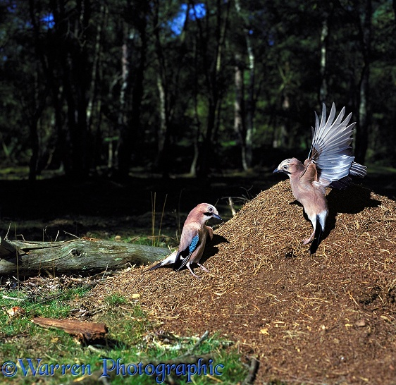 European Jays (Garrulus glandarius) 'anting' on Wood Ants' nest
