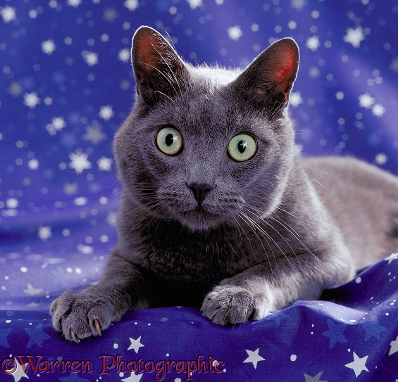 Grey cat with a star reflected in its eyes