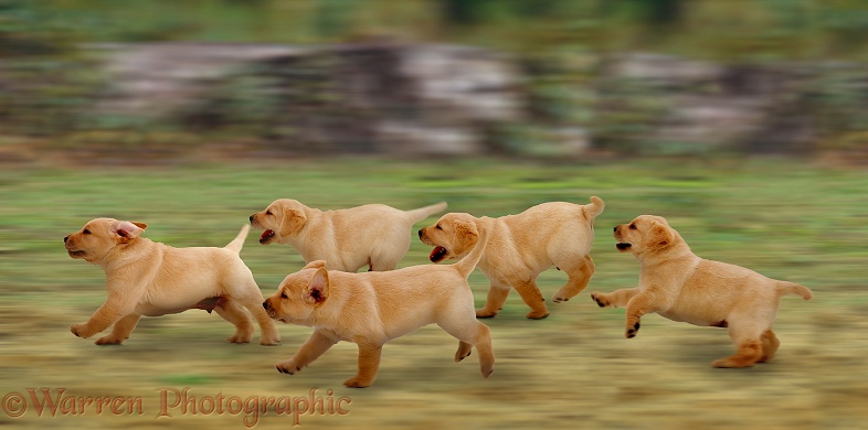 A family of Labrador pups on the move