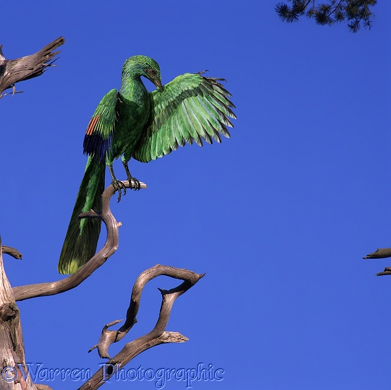Archaeopteryx on old pine branch