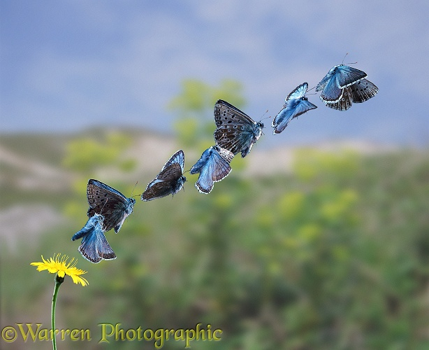 Chalkhill Blue Butterfly (Lysandra coridon) taking off.7 images at 20 millisecond intervals