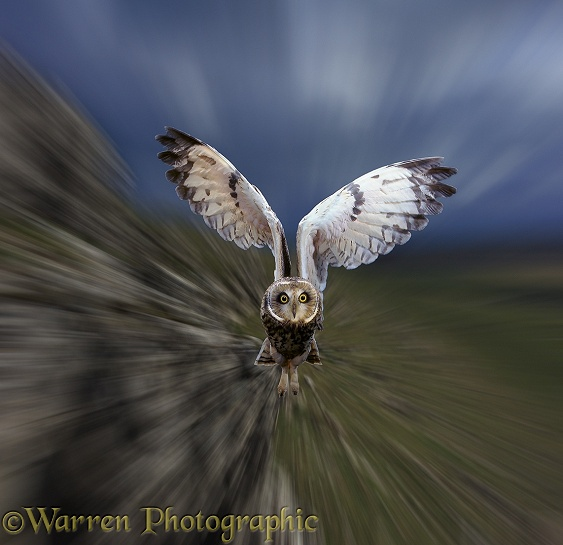 Short-eared Owl (Asio flammeus) in flight